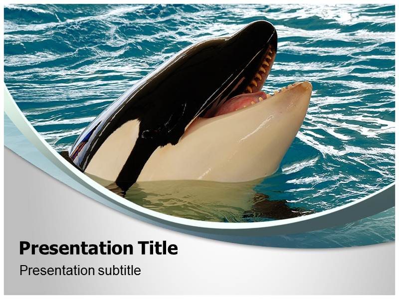 killer whale powerpoint templates and backgrounds, Modern powerpoint