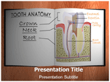 Tooth Anatomy Templates For Powerpoint