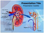 Kidney Function Templates For Powerpoint