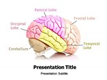 Human Brain With its Organs Templates For Powerpoint