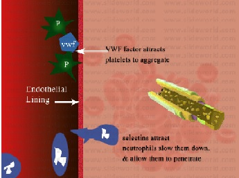 Endothelial Cells  Dysfunction
